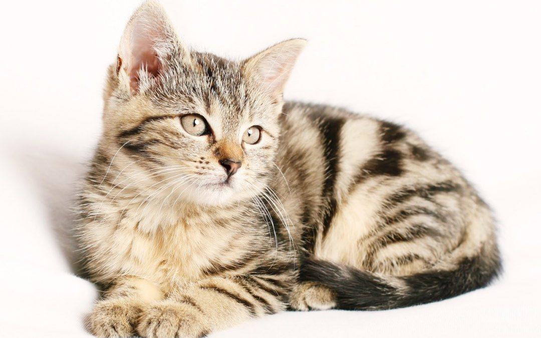 Anemia infecciosa en gatos