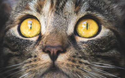 Guía para gata en celo: Cuando esterilizar
