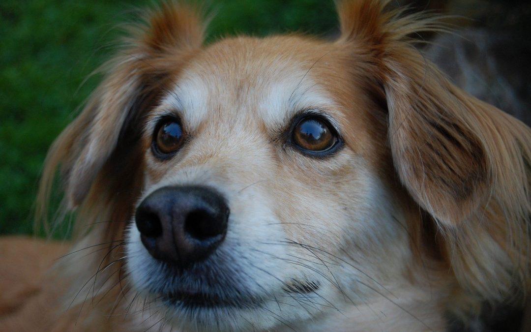 Fístulas Perianales en perros