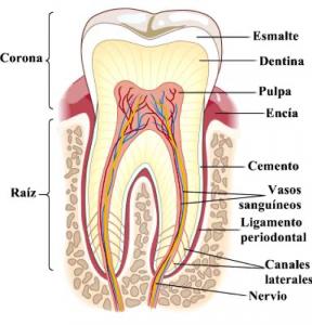 estructura dental