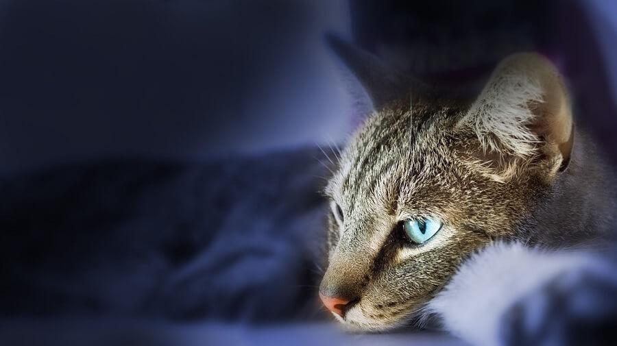 Piometra / infección de útero en gatas