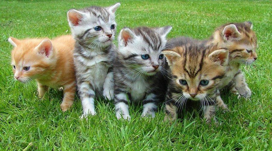 Uso de pruebas hormonales en gatos (Fructosamina y Tiroides)