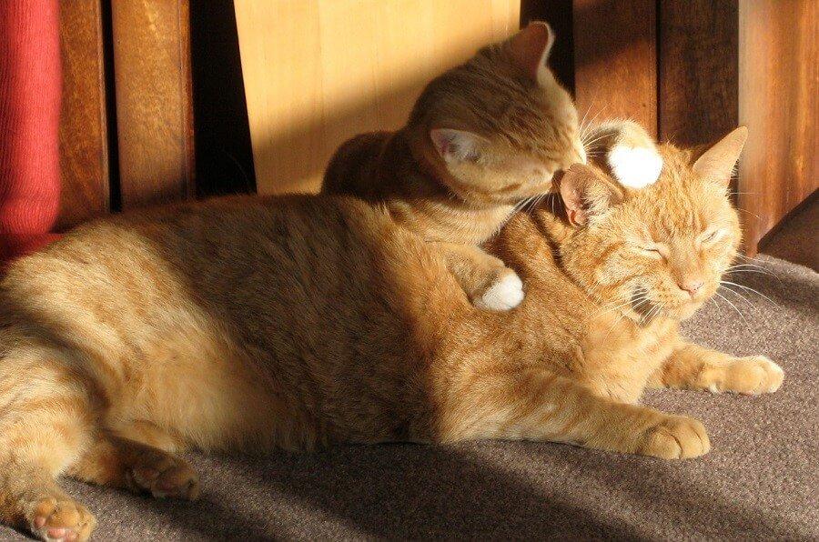 Uso de marcadores tumorales en gatos (IGF-1): ACROMEGALIA