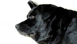 Mastocitoma canino: Como diagnosticar en perros