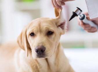 Preguntas y respuestas en Otitis en perros y gatos