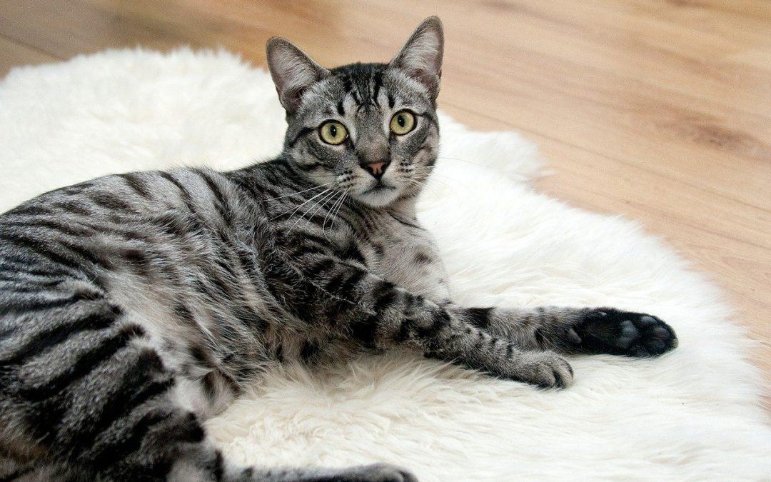 Mascotas y familia: jugando con gatos (cuarta parte)