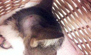 Masa en la cabeza de una gata común europea de once años.