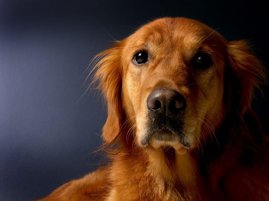 Leishmaniosis canina: Guía práctica