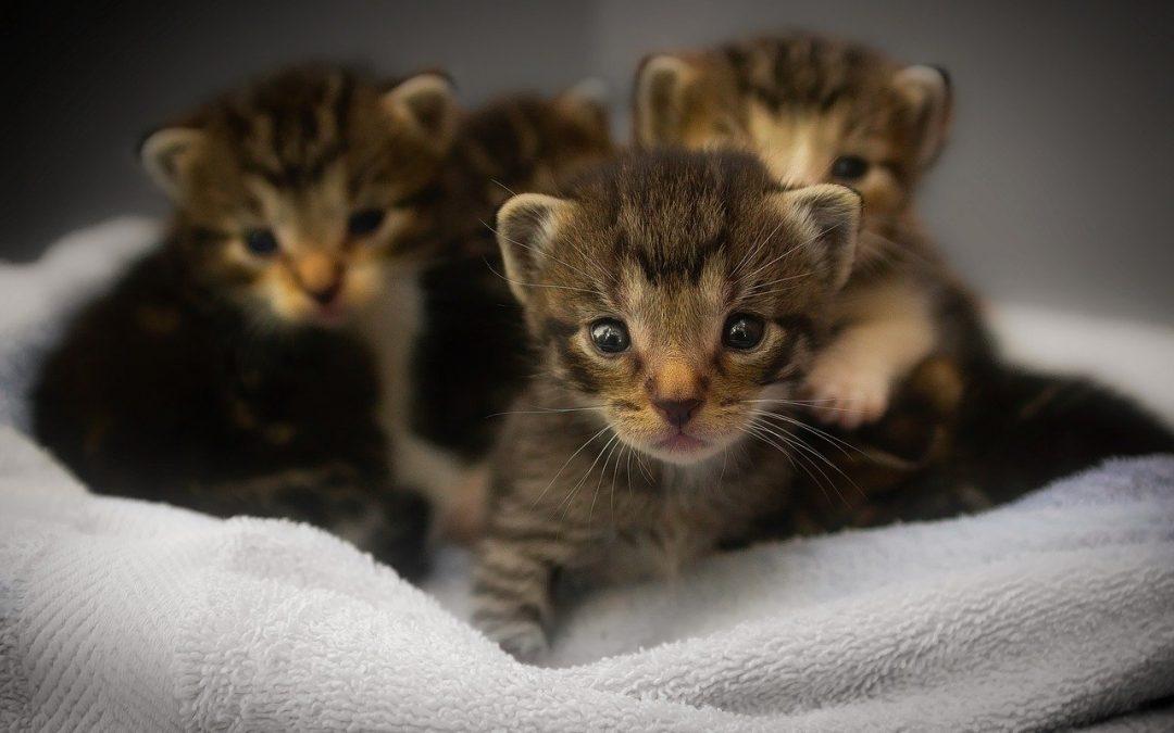 ¿De qué vacunamos a nuestros gatitos?
